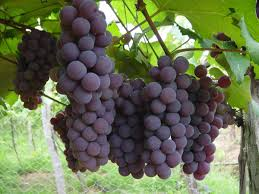 Las uvas del vecino