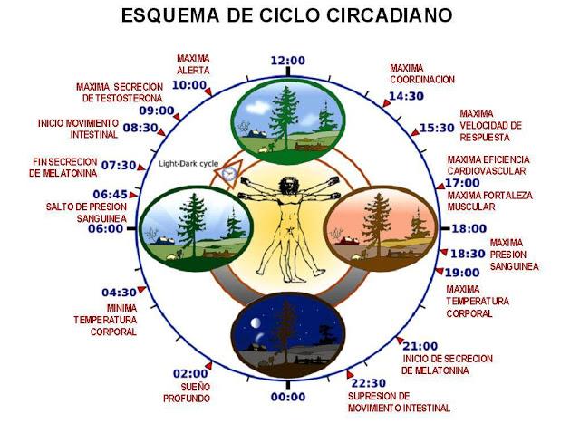 Esquema ritmo circadiano; ciclo cricadiano